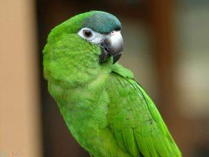 طوطی سبز