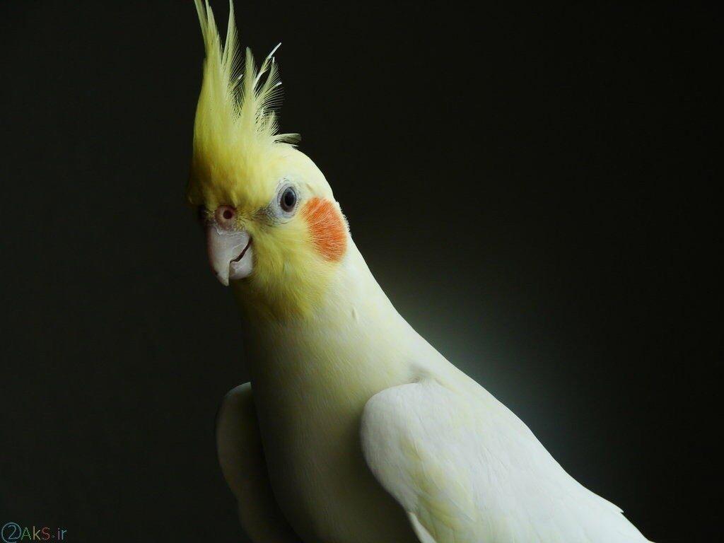 طوطی کاسکو سفید