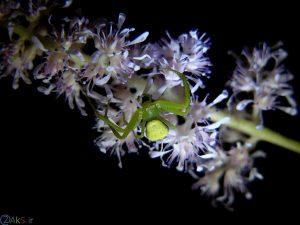 عنکبوت سبز