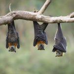 عکسهای خفاش