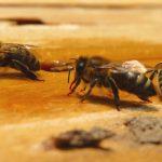 عکسهای زنبور عسل