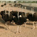 عکسهای شتر مرغ