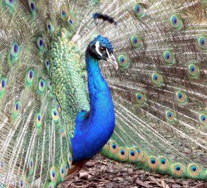 عکسهای طاووس