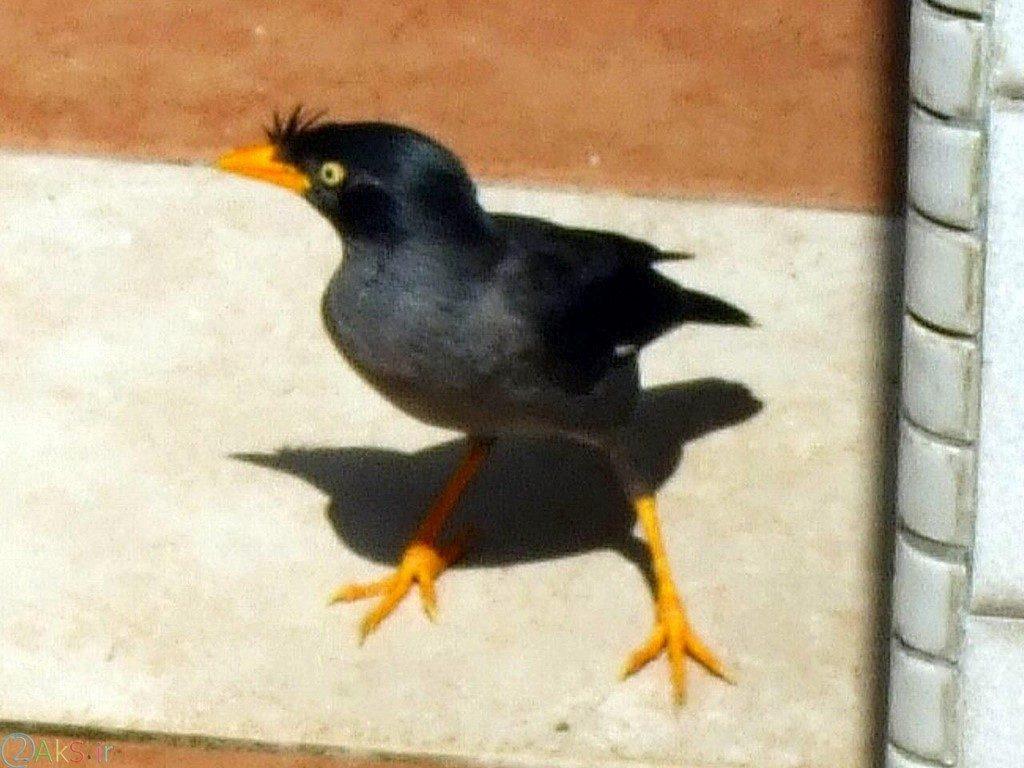 عکسهای مرغ مینا