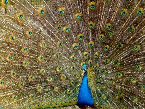 عکس اچ دی طاووس