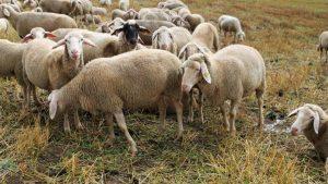 عکس اچ دی گوسفند