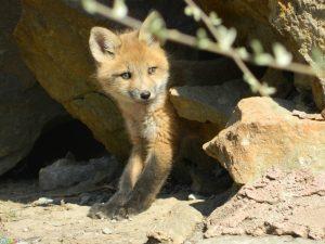 عکس بچه روباه