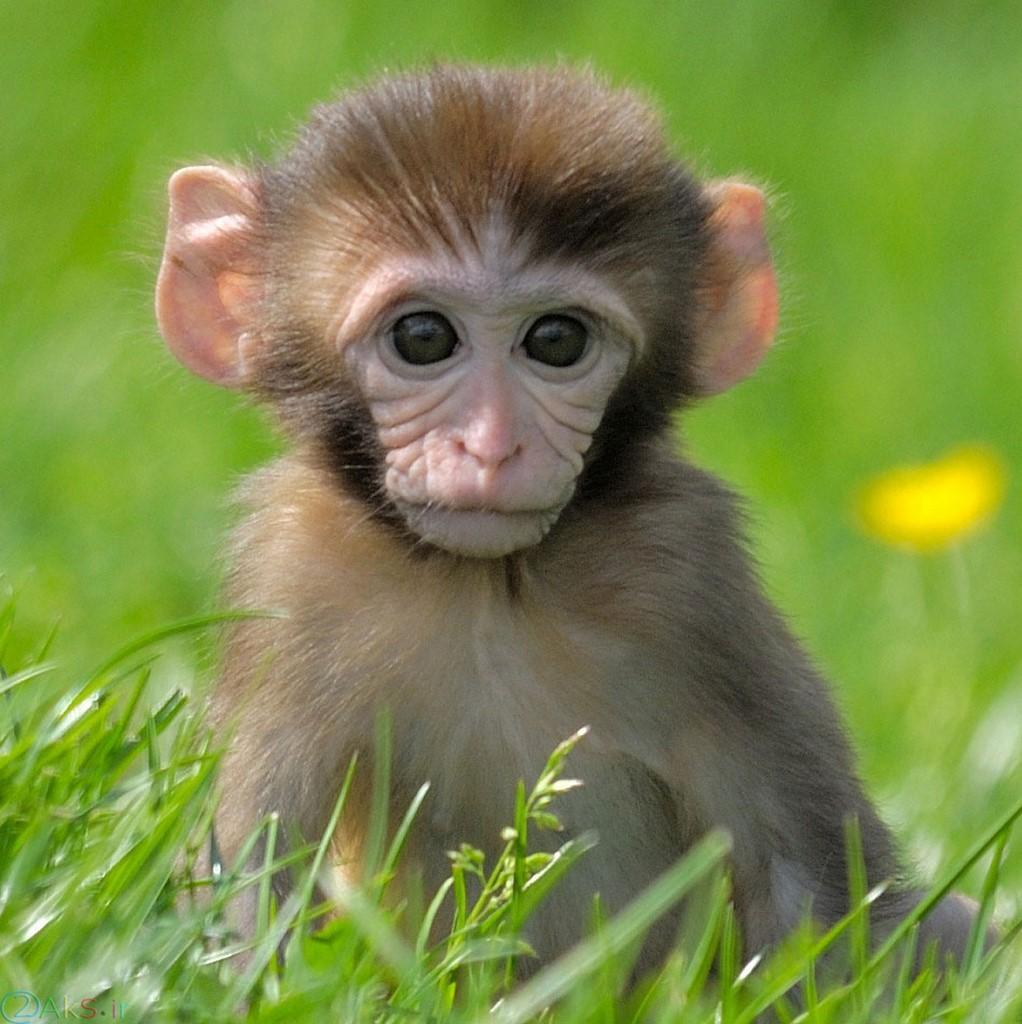 عکس بچه میمون