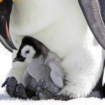 عکس بچه پنگوئن