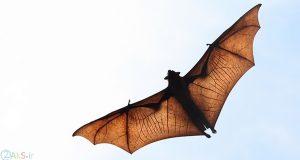 عکس خفاش ها