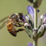 عکس زنبور عسل از نزدیک