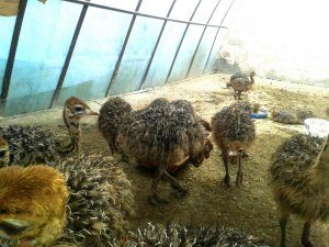 عکس شتر مرغ اچ دی