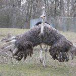 عکس شتر مرغ با کیفیت بالا