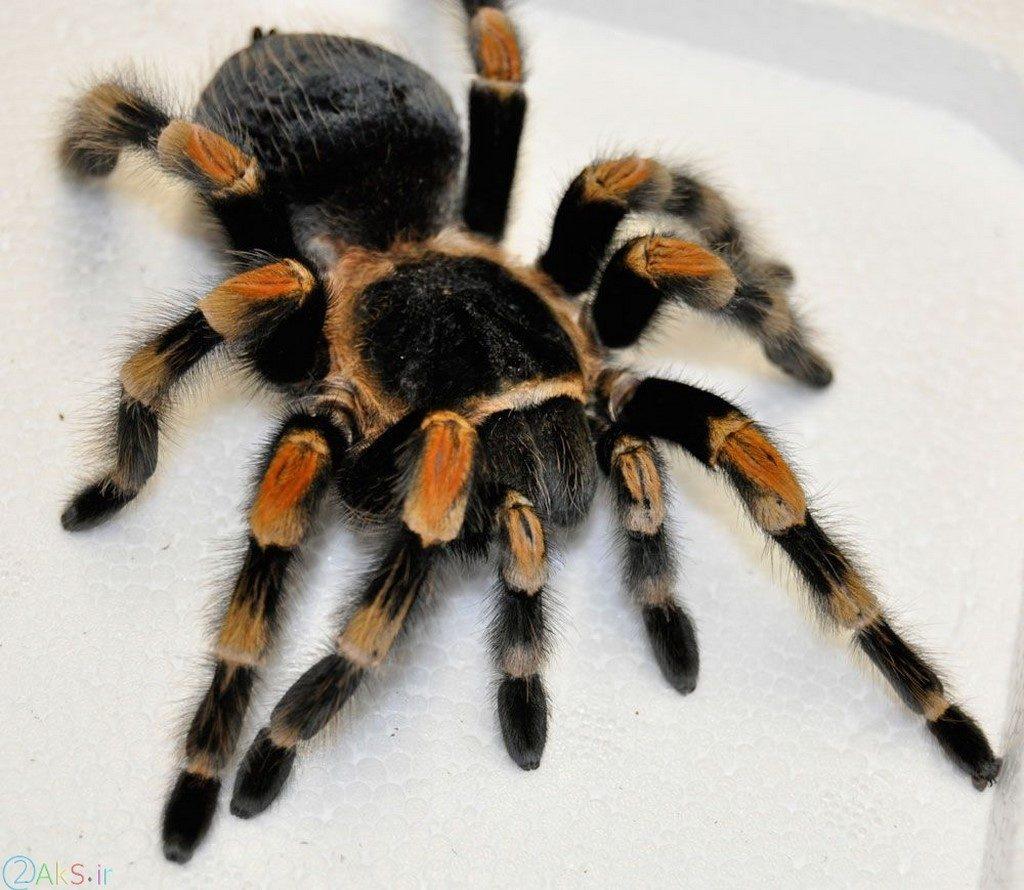 عکس عنکبوت اچ دی