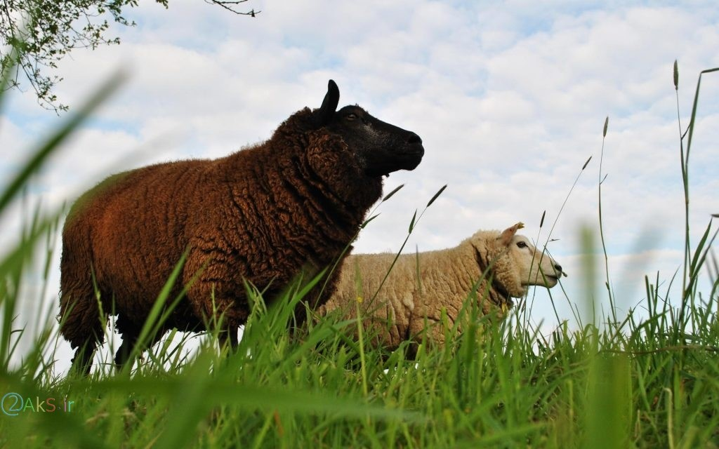 عکس فول اچ دی گوسفند