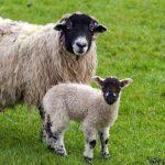 عکس مادر و بچه گوسفند