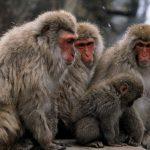 عکس میمون با کیفیت بالا