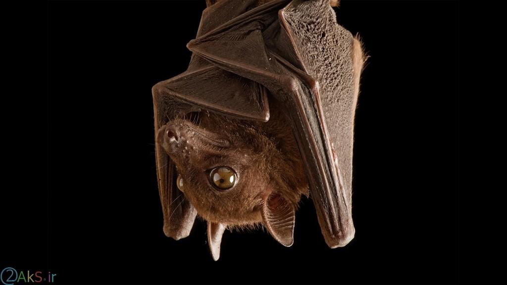عکس های خفاش