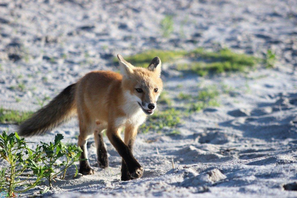 عکس های روباه