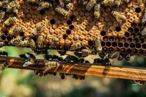 عکس های زنبور عسل