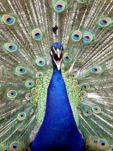 عکس های طاووس