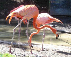 عکس های فلامینگو