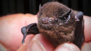 عکس و تصاویر خفاش