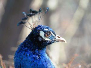 عکس کله طاووس