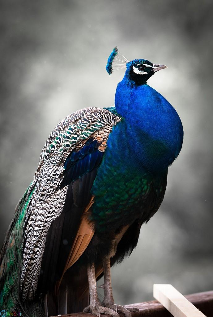 عکس کیفیت بالا طاووس