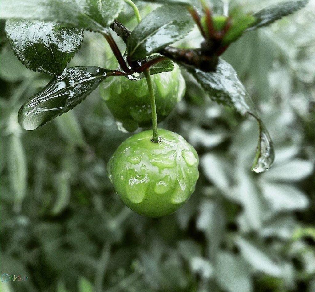 عکس گوجه سبز