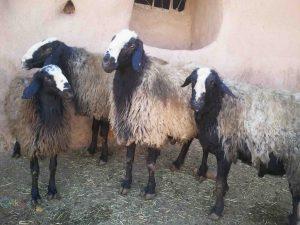 عکس گوسفند ها