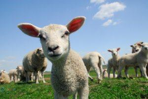 عکس گوسفند کوچولو