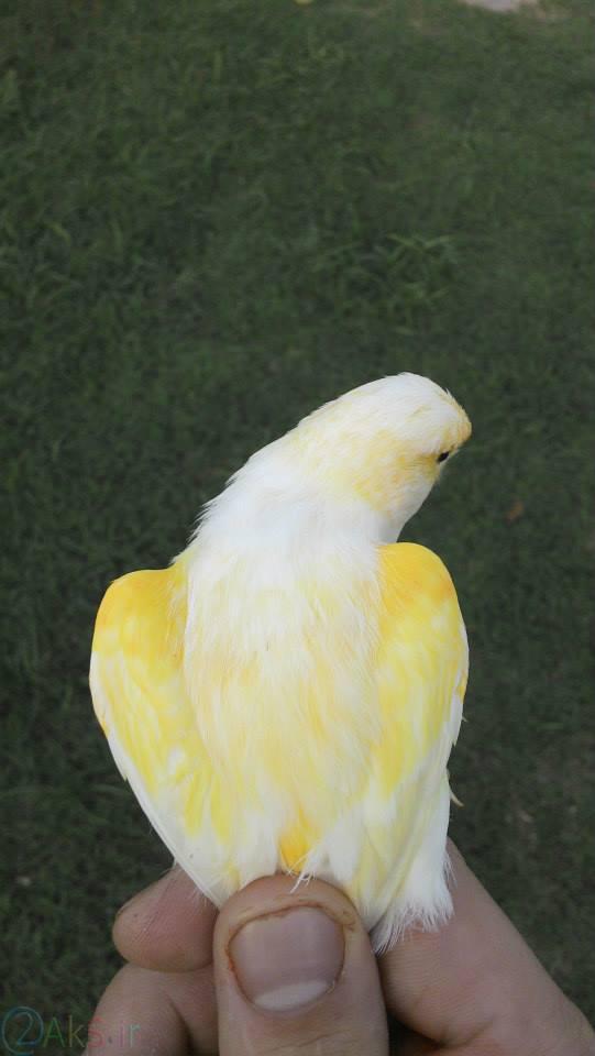 قناری زرد و سفید