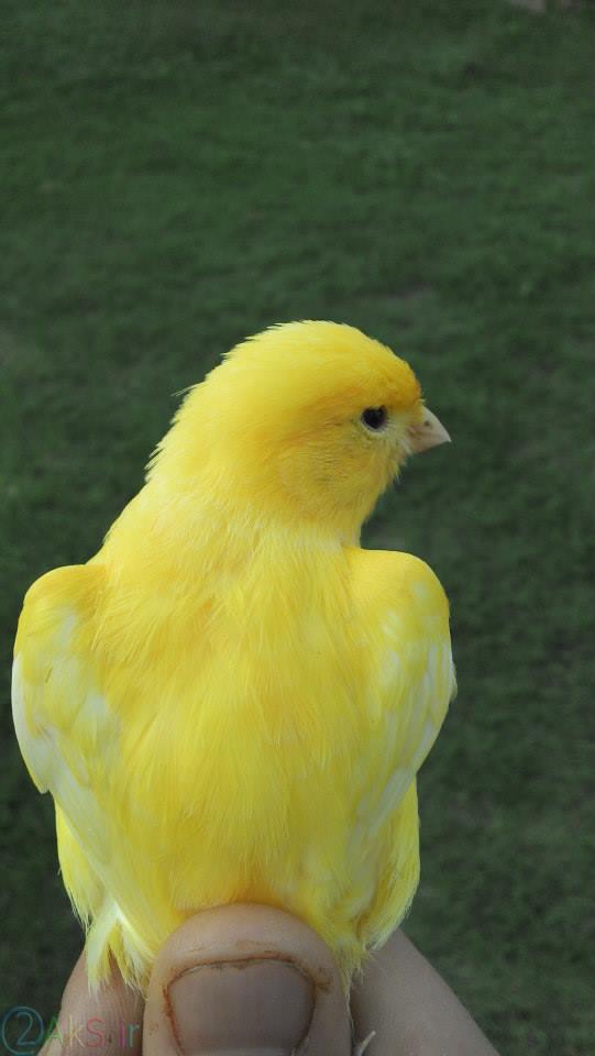 قناری زرد