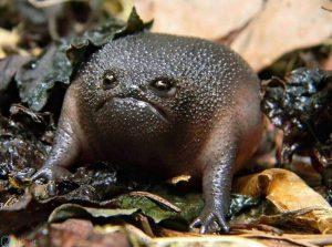 قورباغه سیاه