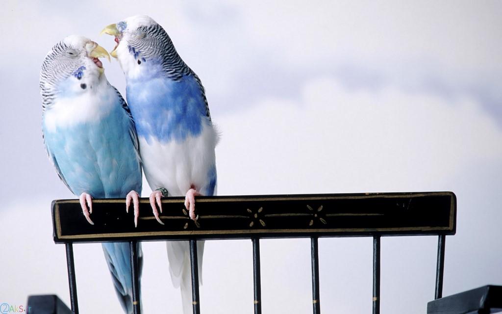 مرغ عشق آبی