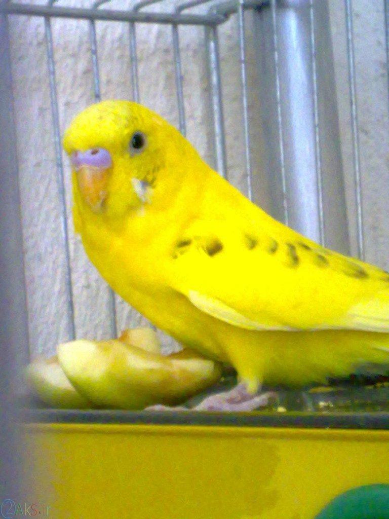 مرغ عشق زرد