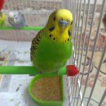 مرغ عشق سبز