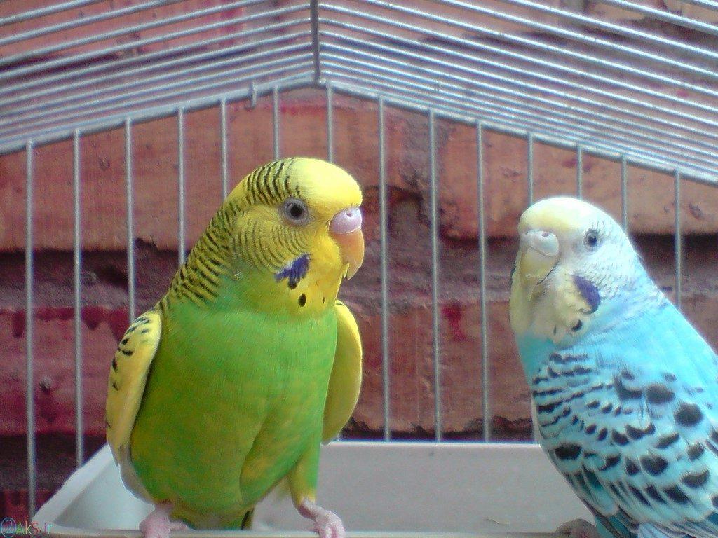 مرغ عشق عکس