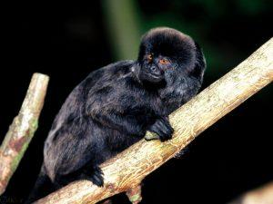 میمون سیاه