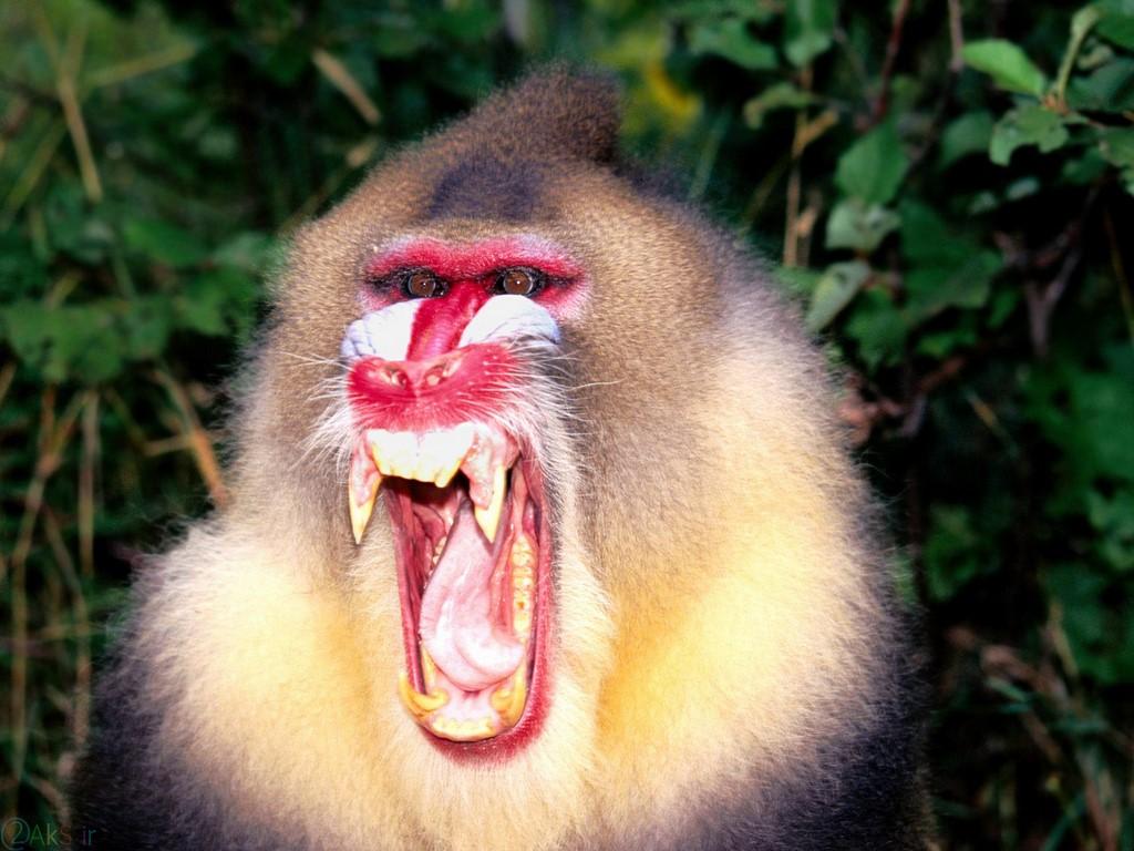 میمون HD