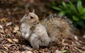 والپیپر سنجاب