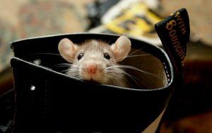 والپیپر موش درون کفش