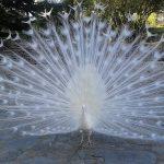 پرهای باز شده طاووس سفید
