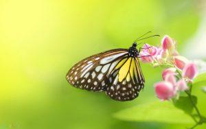 پروانه اچ دی