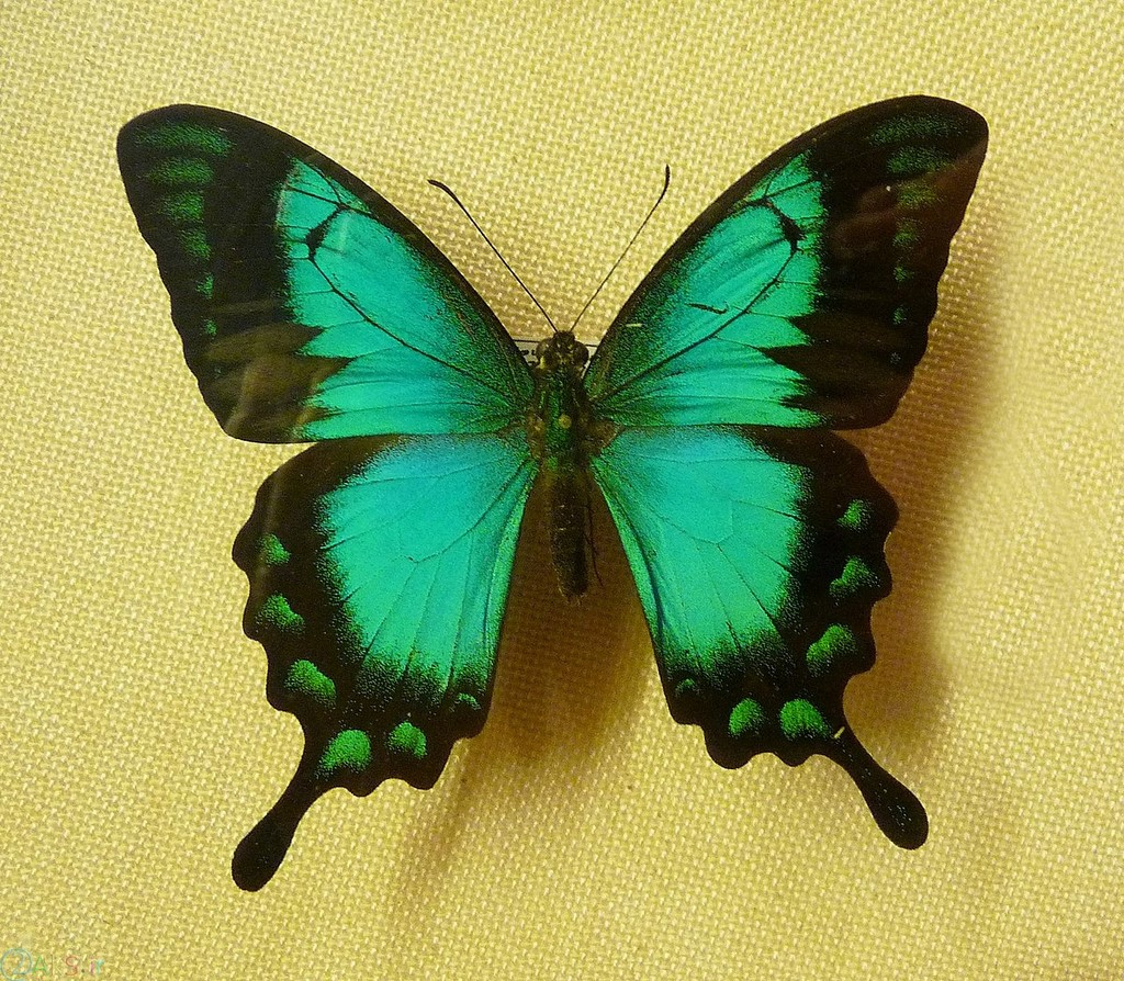 پروانه سبز