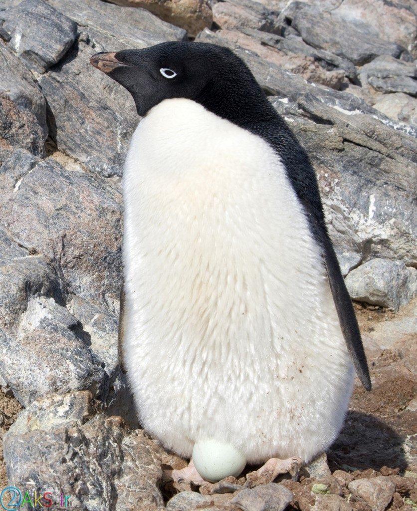 پنگوئن HD