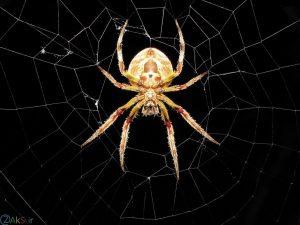 کیفت بالا عنکبوت