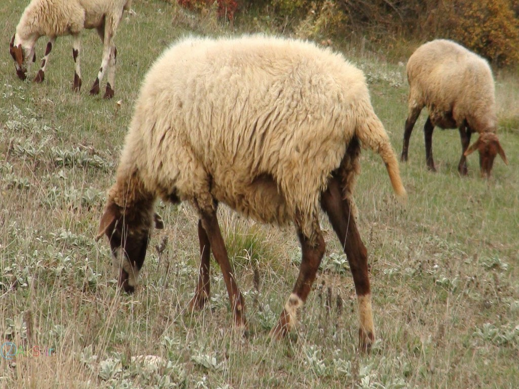 گوسفند استرالیایی