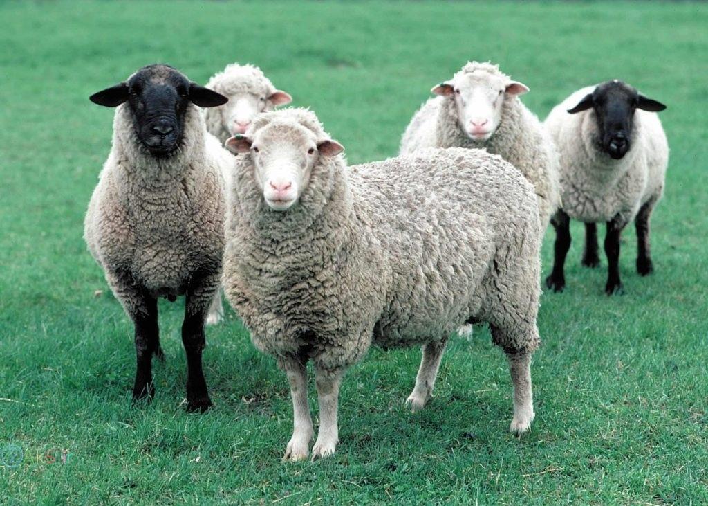 گوسفند با کیفیت بالا